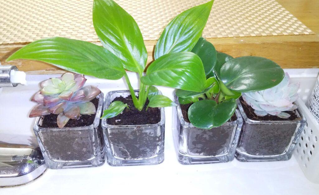 キッチンの植物